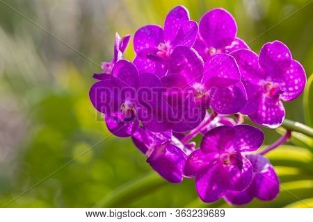 Orchid Flower In Orchid Garden At Winter Or Spring Day For Beauty And Agriculture Design. Vanda Orch