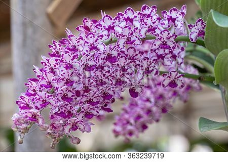 Orchid Flower In Orchid Garden At Winter Or Spring Day For Beauty And Agriculture Design. Rhynchosty