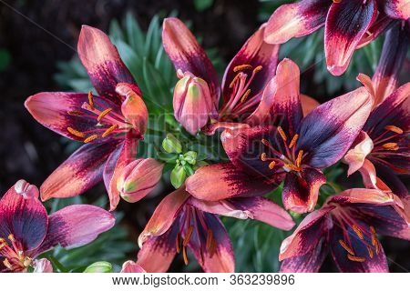 Asiatic Lily Or Asiatic Lilies Flower In Garden At Sunny Summer Or Spring Day.