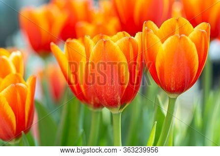 Colorful Tulips Grow And Bloom In Close Proximity To One Another In Tulip Flower Garden. Tulip Flowe