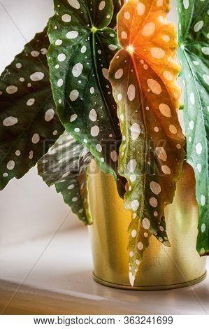 Close-up On The Polka-dot Patterned Leaves Of Polka-dot Begonia (begonia Maculata Var. Wightii) Hous