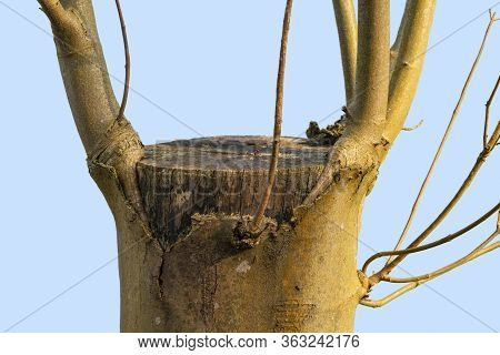 Cutted Tree Trunk Detail Including Some New Growing Boughs And Stipes