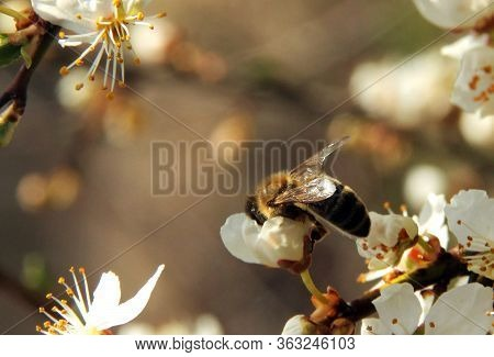 A Bee Collects Nectar On A White Flower On A Blurred Background. Honey Bee On Flower Collecting Poll