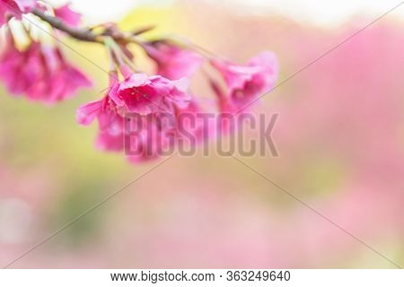 Pink Blossoms On The Branch With Blue Sky During Spring Blooming, Branch With Pink Sakura Blossoms,