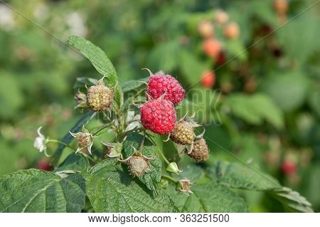 Ripe And Unripe Raspberry In The Fruit Garden. Growing Natural Bush Of Raspberry. Branch Of Raspberr