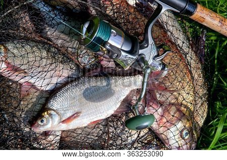 Single Freshwater White Bream Or Silver Bream On Keepnet With Bronze Breams Or Carp Breams On Green
