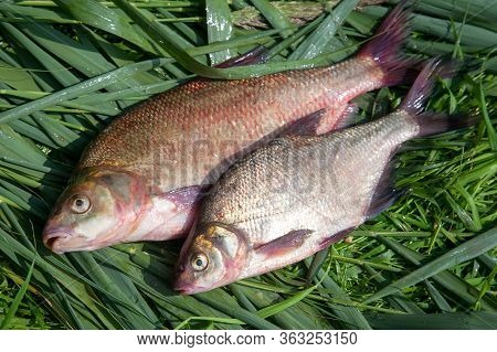 Two Big Freshwater Common Bream Fish On Green Reed..