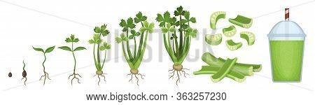 Celery Growth Vector Cartoon Icon. Isolated Cartoon Set Icon Stages Growing Celeriac.vector Illustra