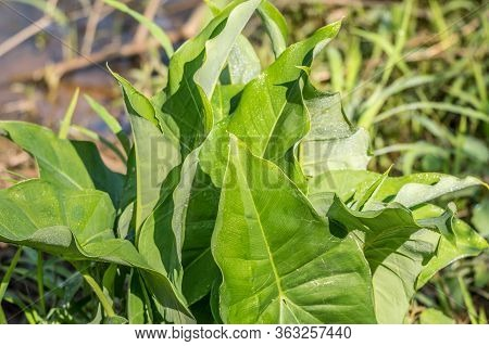 Large Pointy Leaves Of A Broadleaf Arrowhead Plant Emerging Out Of The Water At The Wetlands On A Br