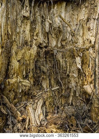 Background In The Form Of The Of A Rotten Old Tree. Microcosm In The Hollow Of A Decrepit Ancient Tr