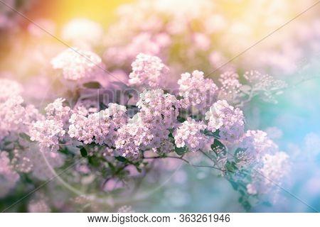 Beautiful Nature In Spring, Flowering Purple Flower, Branch Of Purple Flowers In Bloom Lit By Sunlig