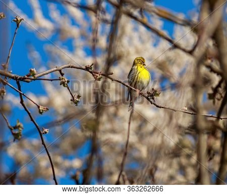 Wild Singing Bird Canary Reel Sitting On Branches On The Background Of Flowering Trees In The Spring