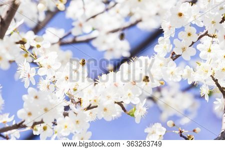 White Spring Flowers On A Tree Branch Over Blue Sunny Bokeh Background Close-up