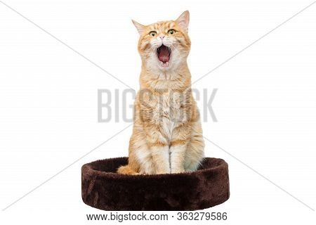 Red Cat In Shock And Surprise Looks At The Camera With His Mouth Open.