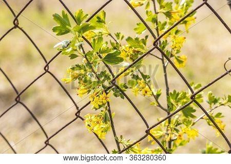 Yellow Flowers Of Golden Buffalo Currant Ribes Aureum Background. Flowers Golden Currant, Clove Curr