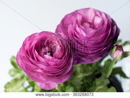 Beautiful Purple Ranunculuses Flowers Close Up On White Background. Ranunculus Cultivation.