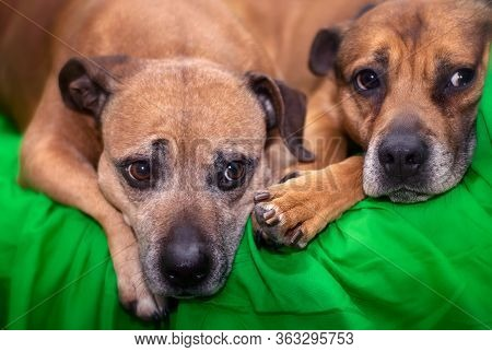 A Staffy And An Alsatian Resting Next To Each Other