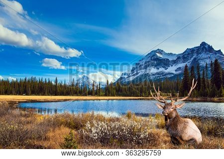 Autumn Journey to the Rockies of Canada. Shallow lake overgrown with yellowed grass. Gorgeous Canadian deer resting by the lake. Active, eco and photo tourism concept