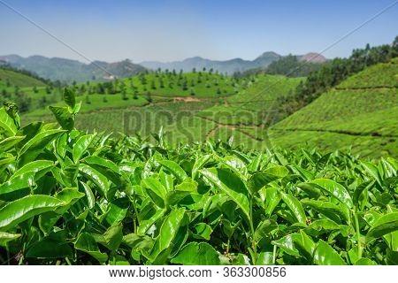 Green tea bud and fresh leaves. Tea plantations in Munnar, Kerala, India