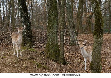 Fallow Deer In The Trees Of An Autumn Forest, Female Deer Mammal Also Called Dama Dama