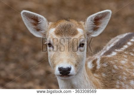 Portrait Of Young Fallow Deer In An Autumn Forest, Female Deer Mammal Also Called Dama Dama