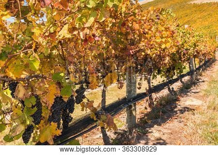 Row Of Pinot Noir Grapes Growing On Vine In New Zealand Vineyard At Harvest Time