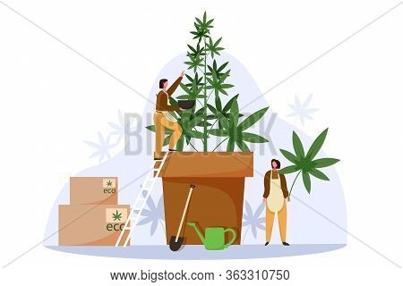 People Grow Cannabis For Legal Sell. Marijuana Farm Business Concept Vector Illustration. Weed Culti