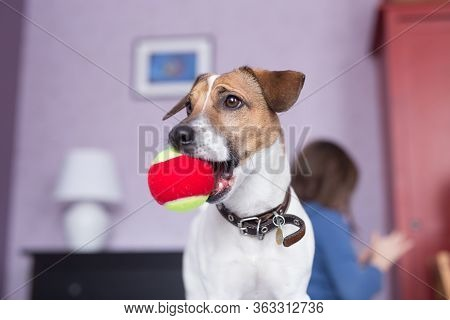 Cute Jack Russell Terrier Chewing Ball Dog Toy Indoor. Pet Concept.
