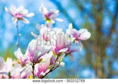 Pink Magnolia Blossom Background. Beautiful Nature Scenery With Delicate Flowers In Springtime Benea