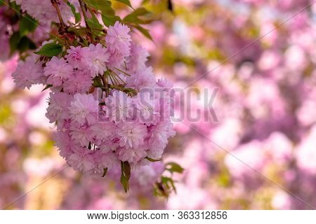 Sakura Close Up In The Morning. Beautiful Springtime Background In The Garden