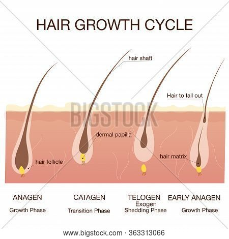 Hair Growth Phase Step By Step.stages Of The Hair Growth Cycle