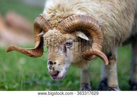 Sheep (ovis Aries), Wallachian Sheep Ram, Portrait. Portrait Of A White Adult Ram.