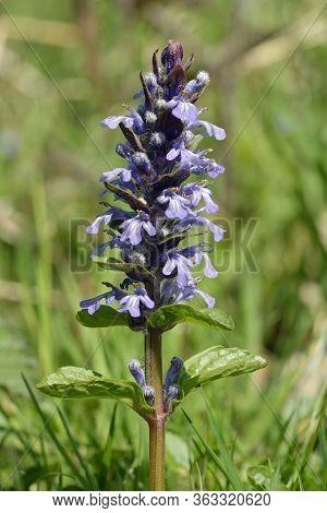 Common Bugle - Ajuga Reptans  Single Flower Spike