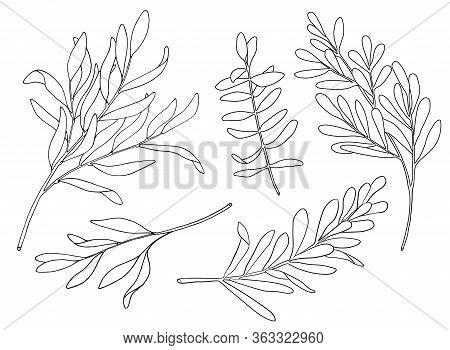 Tea Tree Leaf Outline Vector Set. Hand Drawn Botanical Doodle Sketch Of Melaleuca. Black And White M