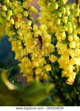 A Solitary Bee Polinating A Yellow Mahonia Aquifolium Flower, In Early December