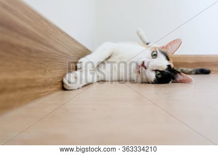 A Calico Cat Turned Over And Lay Down On The Ground, Staring At The Camera. This Picture Has Space F