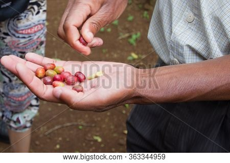 Freshly Picked Red Coffee Beans In Their Shell