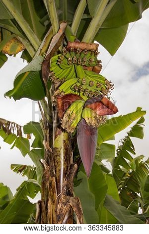 Green Bananas Growing On A Banana Tree