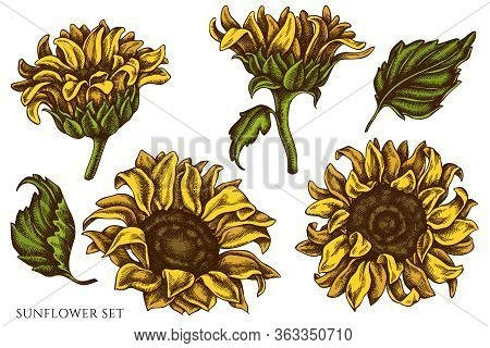 Vector Set Of Hand Drawn Colored Sunflower Stock Illustration