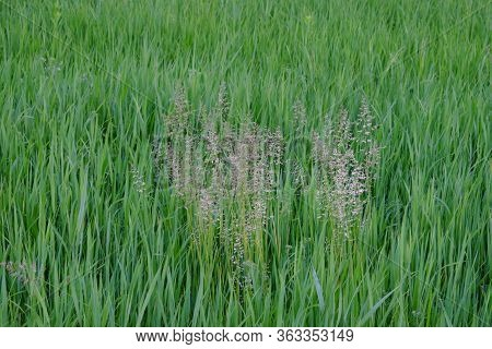 Thickets Of Steppe Grasses As A Background. Hard Steppe Grass.