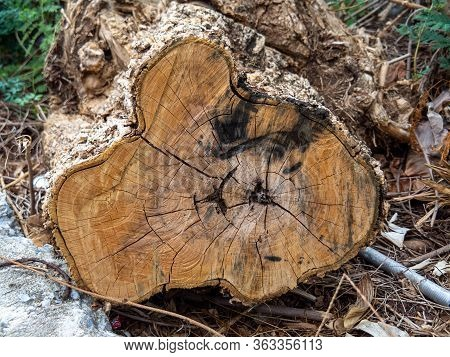 Close Up Of Cut Tree Trunk. Wood Cut Texture Ring Background. Cross Section Of Tree Trunk