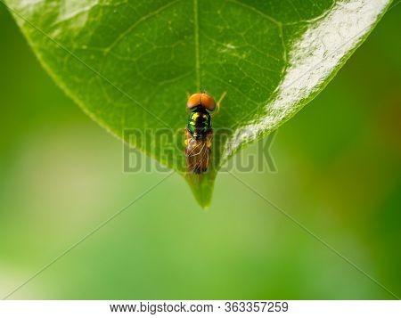 Exotic Tropical Drosophila Fruit Fly Diptera Parasite Insect On Plant Leaf Macro.macro Flies,photo S