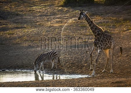 Plains Zebra And Giraffe Drinking In Waterhole At Dawn In Kruger National Park, South Africa ; Speci