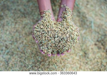 Jasmine Rice From The Field On  Farmer Hands, A Higher Quality Type Of Rice, Is The Rice Strain Most