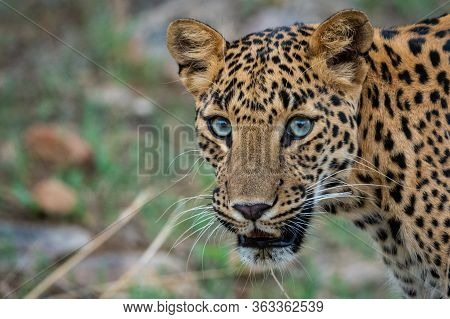 Leopard Or Panther Or Panthera Pardus In Green Background At Jhalana Forest Reserve, Jaipur, Rajasth