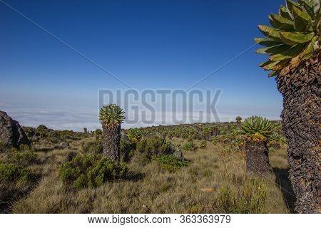 Giant Senecias On The Marangu Route Towards Mount Kilimanjaro