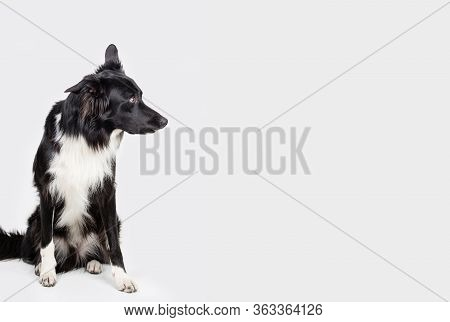 Full Length Portrait Of An Adorable Purebred Border Collie Looking Aside Isolated On Grey Background
