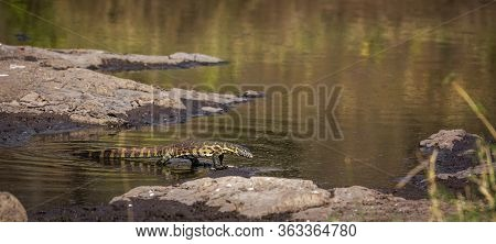 Nile Monitor Walking In Water With Reflection In Kruger National Park, South Africa ; Specie Varanus