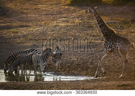 Group O F Plains Zebras And Giraffe Drinking In Waterhole At Dawn In Kruger National Park, South Afr