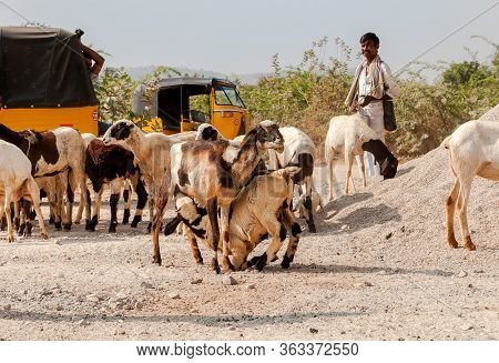 Puttaparthi, Andhra Pradesh, India - January 15, 2013: An Indian Man Are Shepherding Herd Of Sheep I